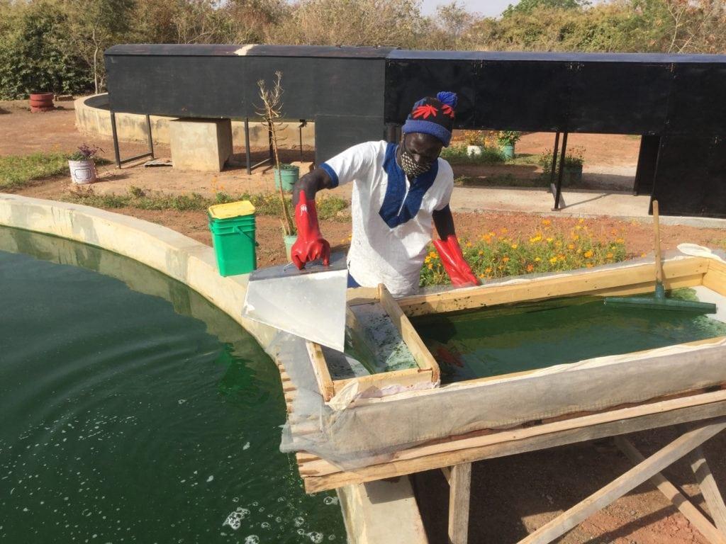 ouvrier malien qui récolte de la spiruline