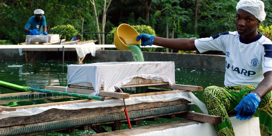 Ouvrier togolais faisant la récolte de spiruline dans un bassin